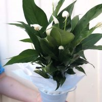 Peace-Lily-Plant-in-Pot-42.00.jpg